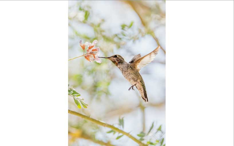 An Anna's Hummingbird with its beak in a flower. The whole image is contained in the element.
