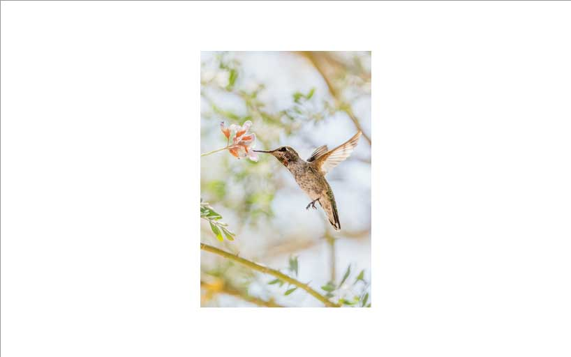 An Anna's Hummingbird with its beak in a flower. The image is centered within the element.