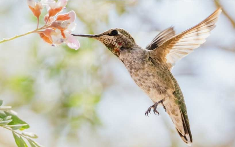 An Anna's Hummingbird with its beak in a flower. The image covers the whole element.