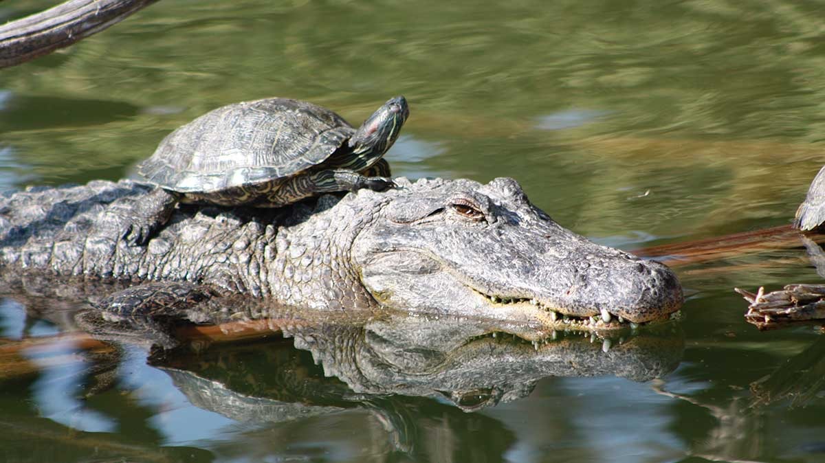 Sample image of a turtle riding on top of an alligator that is swimming in the water - scaled to 600 x 337.